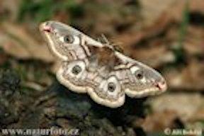 Emperor-moth-22235